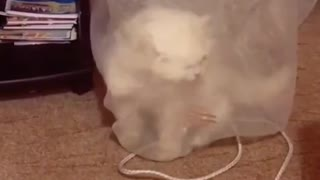 cat and curtain