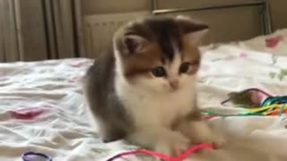 Baby Kitten Playing with Owners Hand