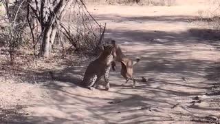 Leopardo Caçando Cachorro