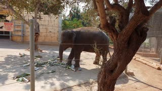 An elephant plays with a tree branch