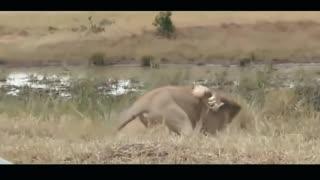 top showdown between two lions
