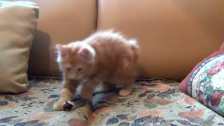 Little cat Playing His Toy Mouse