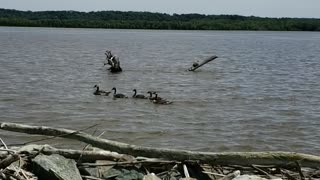 Geese and a turtle in the Mississippi river