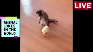 kitten vs chick