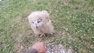 Adorable baby owl runs to owner