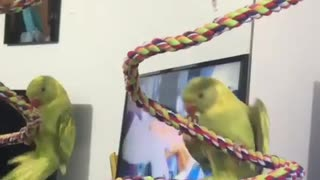 """Talking parrot shouts """"whee"""" while hanging upside down"""