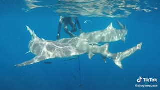 Amazing Swimming with Sharks