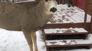 Deer Meets Guy at the Door