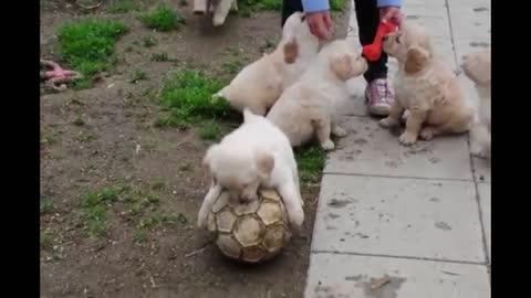 Adorable Golden Retriever puppies play with soccer ball