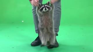 Raccoon Loves to Jump