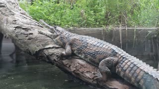 Taiwan zoo crocodile