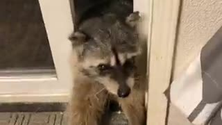 Raccoons Get Fed From Guy's Hand