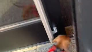 Tiny Dog Shows Huge Excitement to be Home