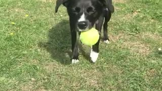 Confused dog can't understand why ball keeps rolling downhill