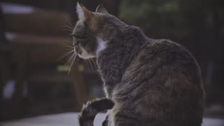 cute cat trying to lick itself