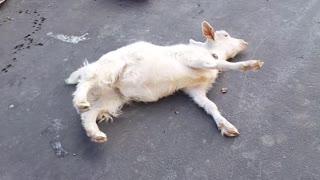 Fainting Goat Takes a Fall