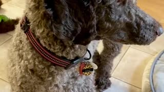 Puppy and dog play with squeaky toy together!