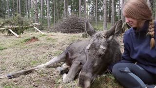 Cute Moose Calf Cuddled to Sleep