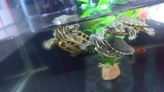 Baby Turtle Hitches a Ride