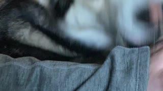 Husky Demands More Pets