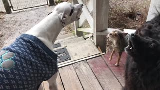Pack Of Dogs Howl In Unison Responding To Train Horn