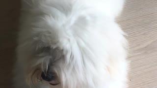 Fluffy White Dogyy