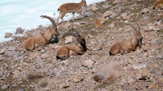 Mountain Goats Sitting