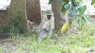 Monkey catching grashoppers