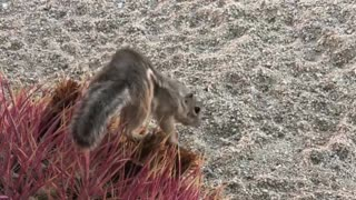 Adorable Desert Squirrel Finds a Cactus Treat