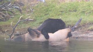 Grizzly Bear Drags Bull Elk to Shore for a Feast