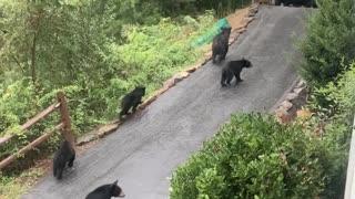 Bear Family Strolls Through North Carolina Neighborhood