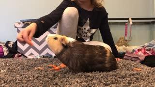 Guinea pig scoffs at owner's trick ideas