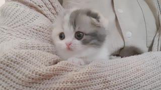 Cute kitten with short legs walks around