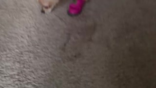 Chihuahua gets new boots
