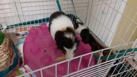 GUINEA PIG EATS LIKE A KING