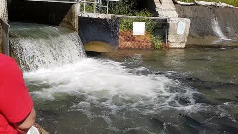 Salmon Jump at waterfall