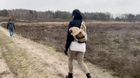 Handicapped Pug goes for walkies in baby sling
