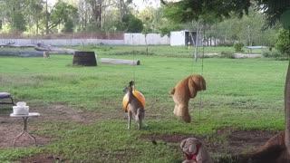 Kangaroo Joey Loves Her Toys