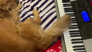 Pup Plays Piano with Tail