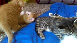 Most Beautiful Mackerel Tabby Kittens EVER!!!!
