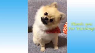 Dog plays dead - Soo funny