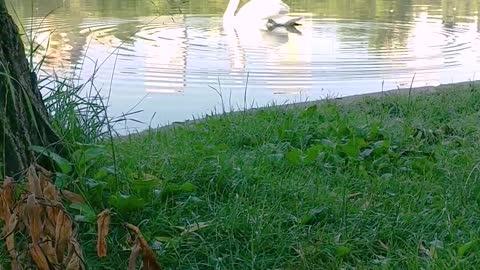 Maine Coon cat watching a swan