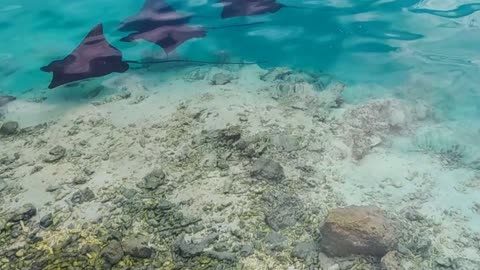 Eagle rays in the SHALLOWS!