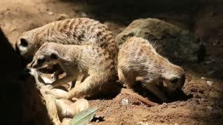 Animal Meerkats enjoy their family time in a burrow