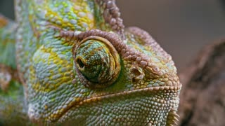 Beautiful Chameleon Looking From Side to Side
