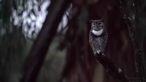 Great Horned Owl Call