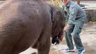 Elephant playing with the breeder