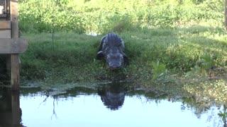 Large alligator walking to canal