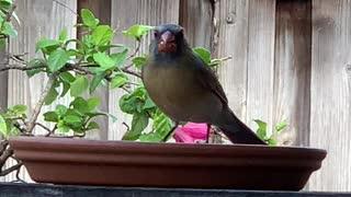 # Back Yard Birds Hawai'i New Female N. Cardinal