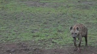 A Rare Close Encounter With a Hyena